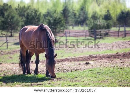 Chestnut horse feeding in pasture, copyspace - stock photo