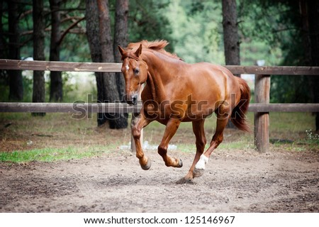chestnut horse in action - stock photo