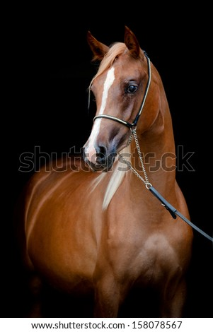 Chestnut horse portrait isolated on black background, Arabian filly. - stock photo