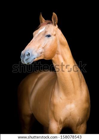 Chestnut horse portrait isolated on black background, Don horse. - stock photo