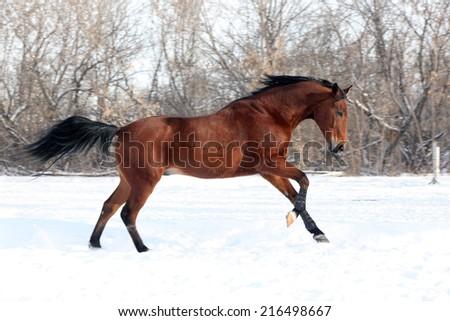 Chestnut horse runs gallop in winter - stock photo