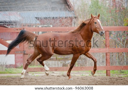 chestnut horse runs in paddock - stock photo