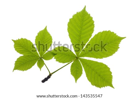 chestnut leaf over isolated over white - stock photo