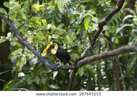 Chestnut mandibiled toucan or Swainsonâ??s toucan (Ramphastos ambiguus swainsonii) eats a piece of banana while sitting on a tree limb in the tropical rainforest. - stock photo