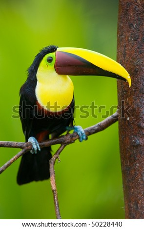 Chestnut-mandibled Toucan or Swainsons Toucan - Ramphastos swainsonii,  from Central America. - stock photo