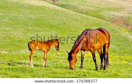 Chestnut mare and foal grazing on a green pasture - stock photo