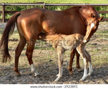 Chestnut mare nudging newborn foal to feed. The newborn is a lighter, almost buckskin color. They're in a paddock in early morning sun. There is a brown wooden fence and green hedge in the background. - stock photo