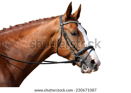 Chestnut sport horse portrait isolated on white background - stock photo