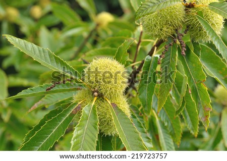chestnut tree and chestnut in their bugs - stock photo
