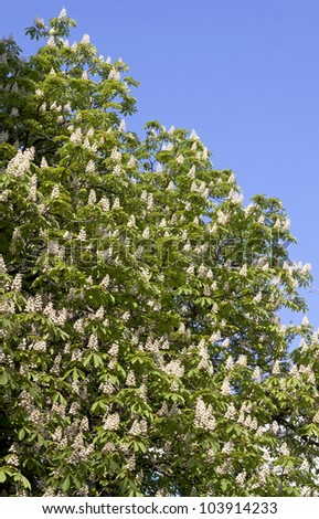 Chestnut tree branches with white blossoms - stock photo