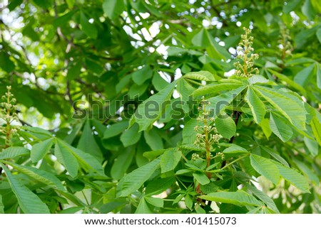 chestnut tree with beginning to blossom buds - stock photo