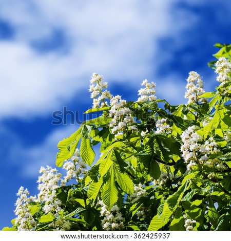 Chestnut tree with blossoming spring flowers against blue sky, seasonal floral background - stock photo