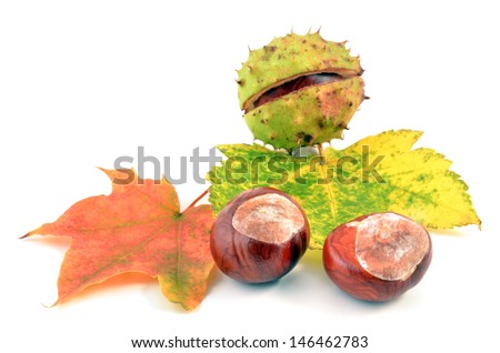 Chestnuts. Autumn leaves and chestnuts on white background. Chestnuts nuts. Chestnuts fruits. Chestnuts decoration. Chestnuts and leaves with copy space.chestnut on  leaf. - stock photo