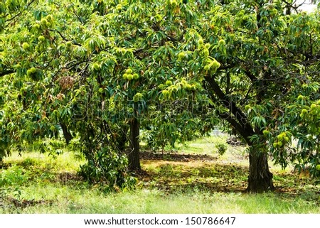 chestnuts trees 3 - stock photo