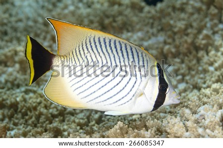 Chevroned Butterflyfish, Chaetodon trifascialis, swimming over coral reef. Tulamben, Bali, Indonesia. Bali Sea, Indian Ocean - stock photo
