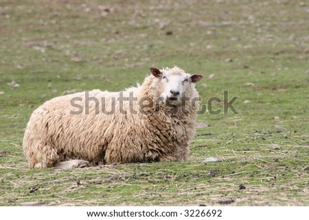Chewing Sheep Laying Down - stock photo