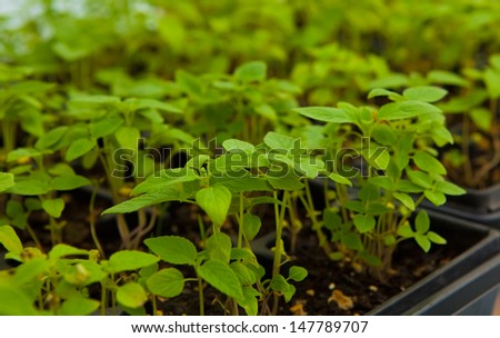 Chia plant seedlings to grow chia seeds, Salvia hispanica - stock photo