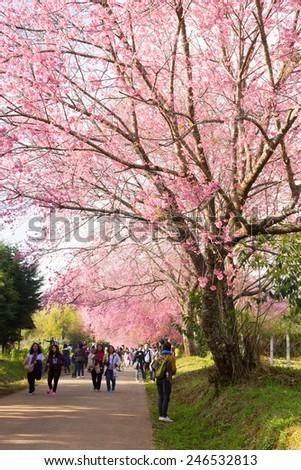Chiang Mai, Thailand - January 18, 2015: Thai people is coming to see Sakura blossom at Chiang Mai Royal Agricultural Research Centre (Khun Wang), Khun Wang Royal Project, Chiang Mai, Thailand - stock photo