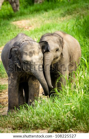 Chiang Mai, THAILAND  - June 16, 2012: Two baby elephants playing in grassland field. - stock photo