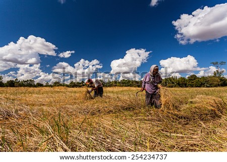 CHIANG MAI.THAILAND - OCT 20 : The old man and women Thai farmer collaborating at the harvest, October 20 , 2014 in Chiang Mai .Thailand - stock photo