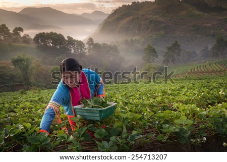 CHIANGMAI, THAILAND - JAN 15 : Farmer picking strawberries at strawberry farm in the morning on January 15, 2015. Doi Ang Khang Mountain, Chiang Mai, Thailand - stock photo