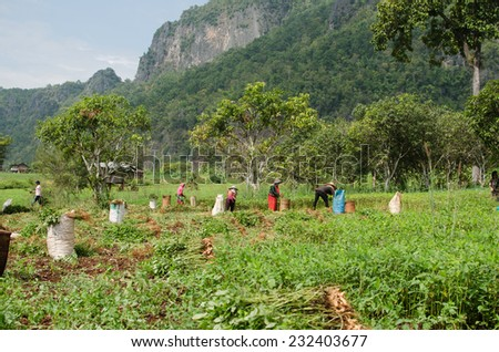 CHIANGMAI,THAILAND - NOVEMBER 19, 2014: Unidentified Palaung farmers are harvesting peanut trees in their peanut plantation.Palaung people is a minority ethnic group living in northern Thailand - stock photo