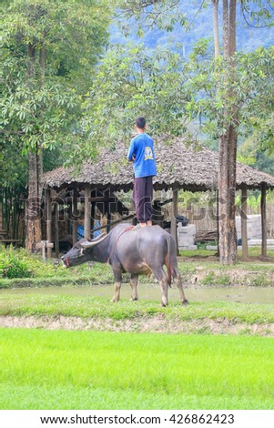 CHIANGMAI THAILAND :  NOVEMBER 12 : Young farmer and buffalo in rice field at Chiangmai Thailand.November 12,2011 in Thailand. - stock photo