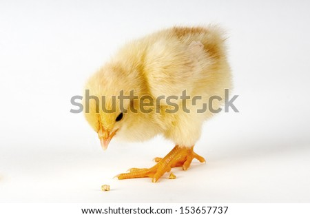 Chick eating on white - stock photo