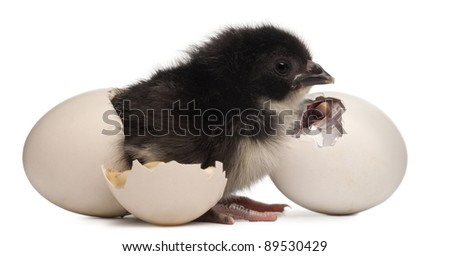 Chick - Gallus gallus domesticus (8 hours old) standing next to its egg and next to a chick hatching out its egg in front of white background - stock photo
