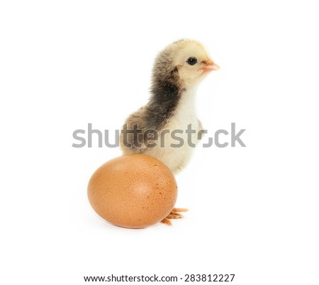 chick isolated on white background. - stock photo