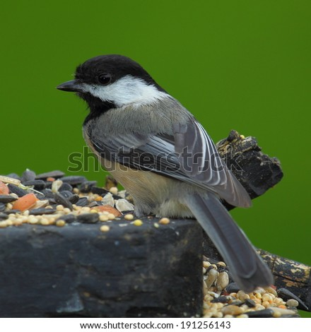 Chickadee - stock photo