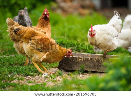 chicken - stock photo
