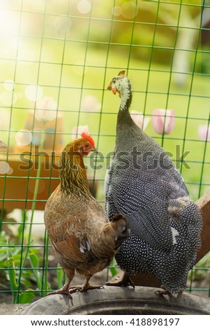 chicken and guinea fowl on a sunny day  - stock photo