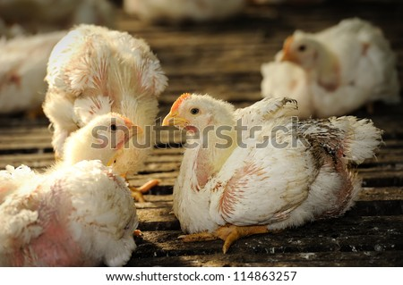 Chicken (25 days old) in poultry farm, selective focus. - stock photo