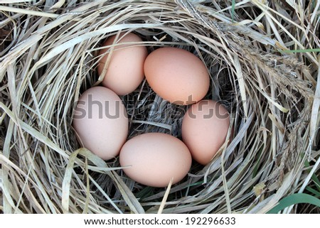 Chicken eggs in a arranging nest - stock photo
