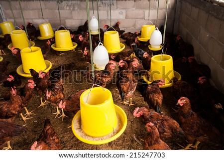 Chicken Farm. - stock photo