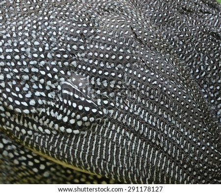 Chicken,Guineafowl, Guineahen ( Numididae)  - stock photo