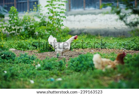 chicken in grass on a farm - stock photo