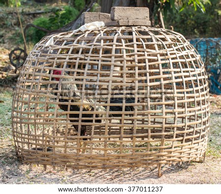 Chicken in the coop ,gamecock concept - stock photo