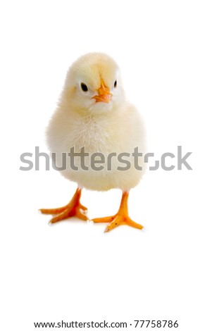 Chicken isolated on a white background - stock photo
