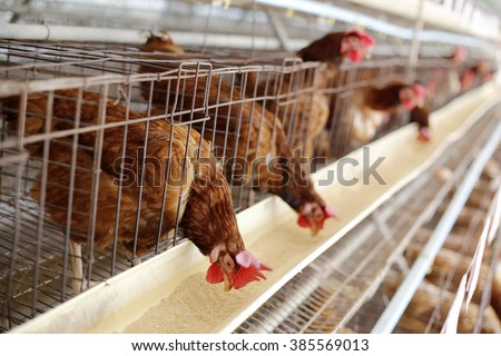 Chicken lay eggs in the chicken farm - stock photo
