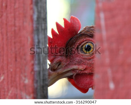 Chicken looking from behind a fence - stock photo