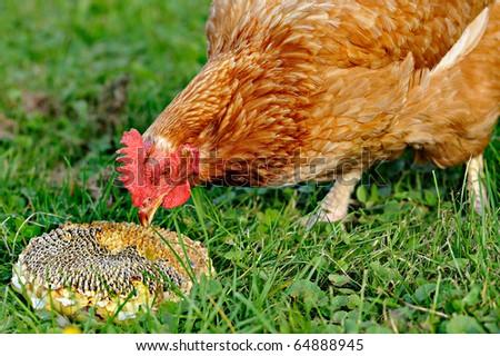 chicken pecks  sunflower seeds on a grass - stock photo