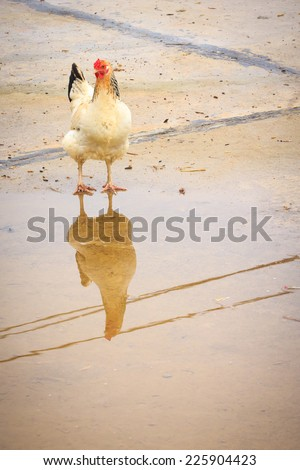 Chicken with shadow reflection - stock photo
