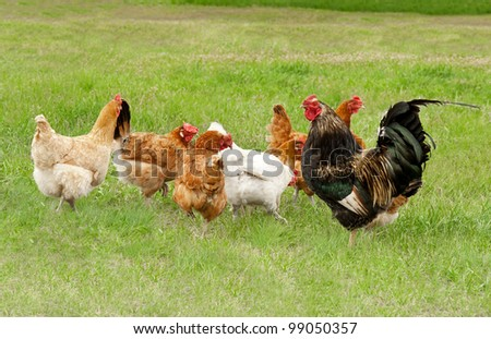 Chickens graze on grass - stock photo