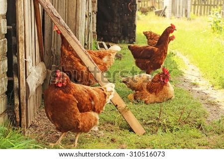 chickens, hens - stock photo