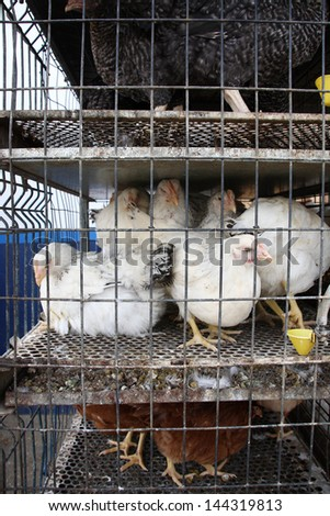 Chickens kept in a tiny cage - stock photo