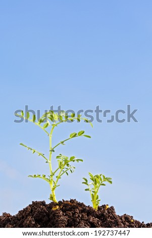 chickpea sprouts isolated on blue sky - stock photo