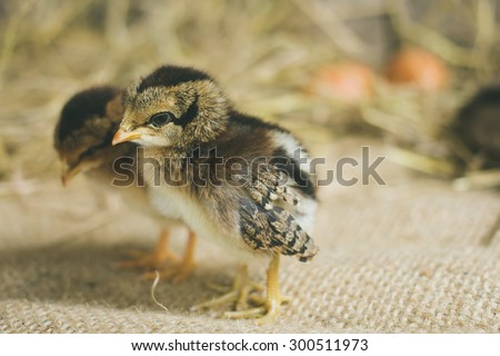 Chicks in the henhouse.Newly hatched chicks on a chicken farm.Concepts of concern and engagement. - stock photo