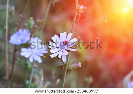 chicory wild flower sunlight ladybird spring summer toned photo soft selective focus - stock photo